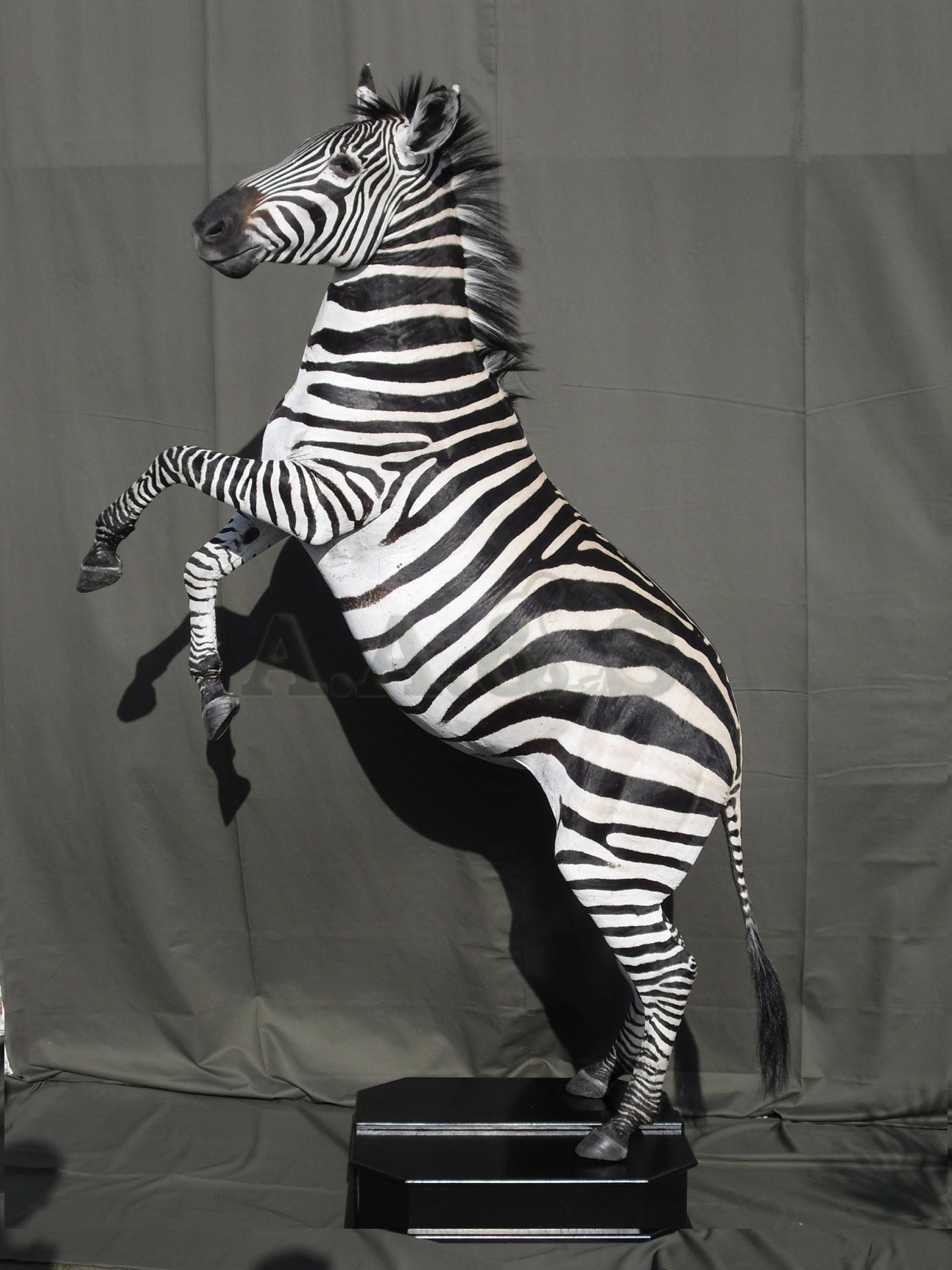 zebra-ovaal1